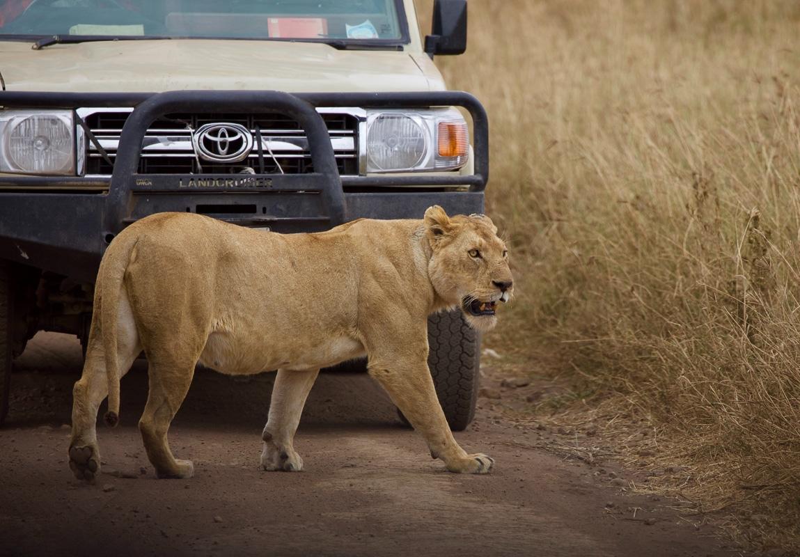 africké safari - lvice