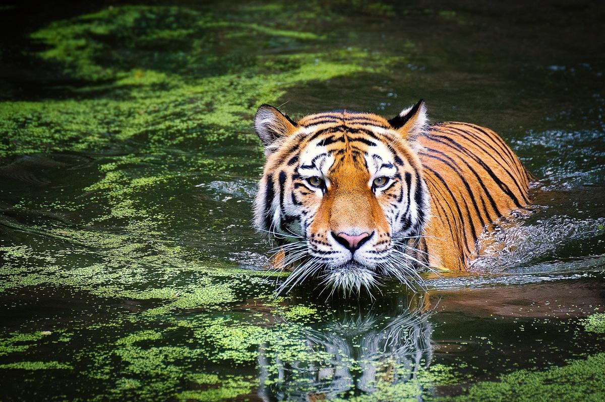 vidět tygry - národní park Satpura