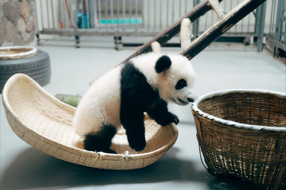 pandy v Číně