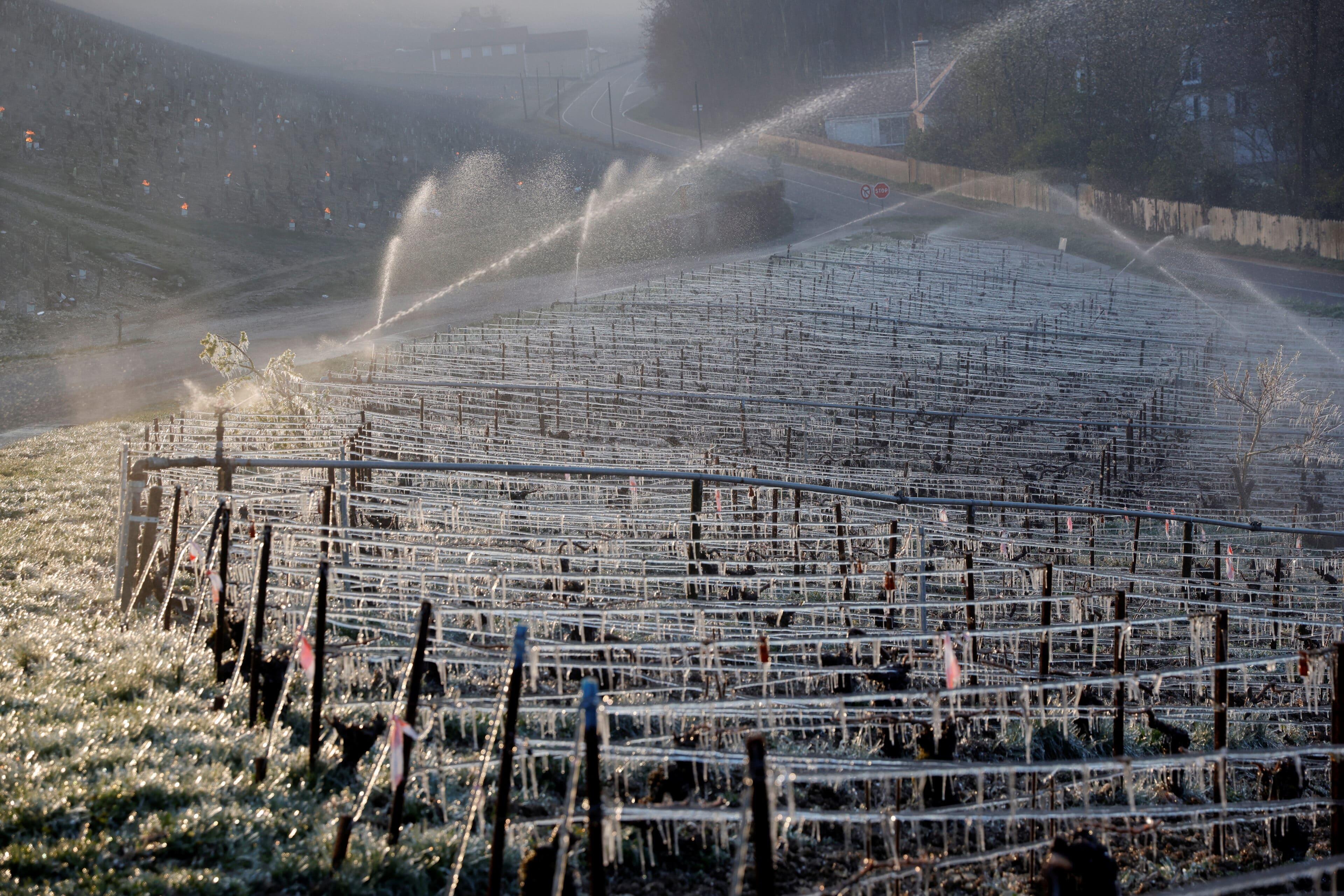 Vinaři révu před svítáním stříkají vodou