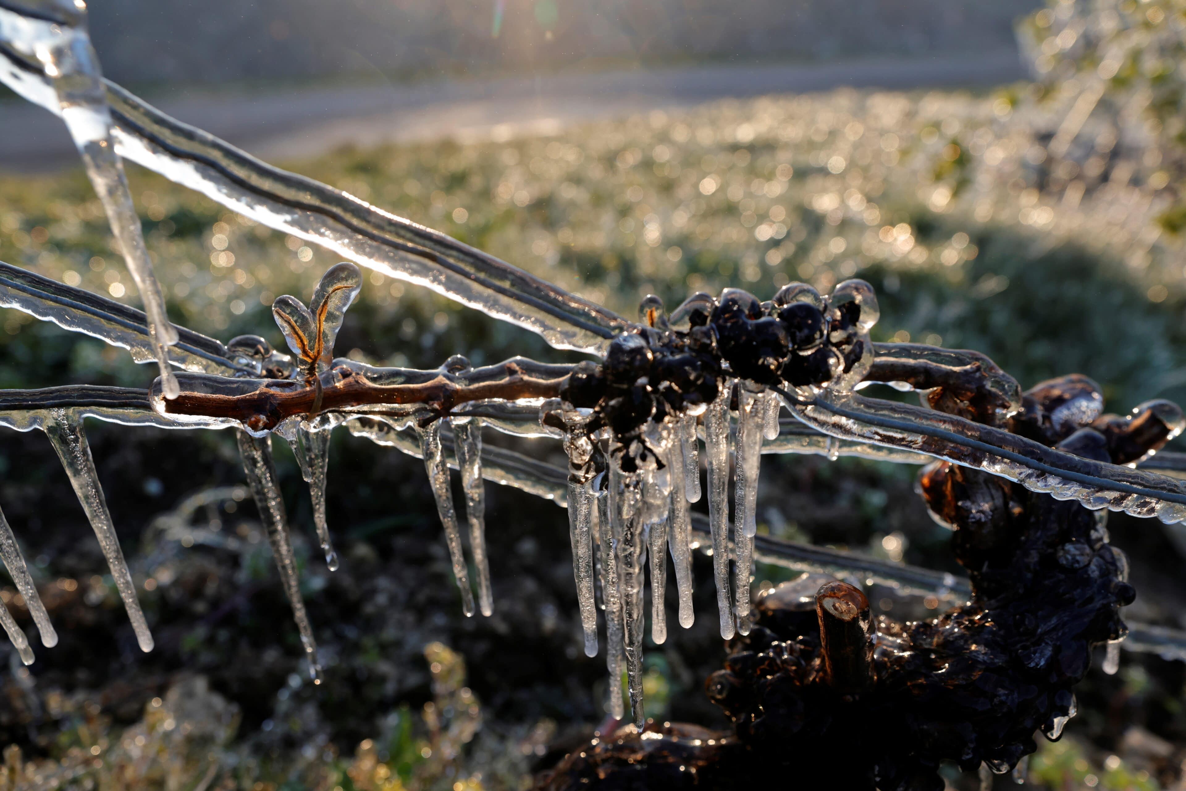 Vinná réva pokrytá vrstvou ledu