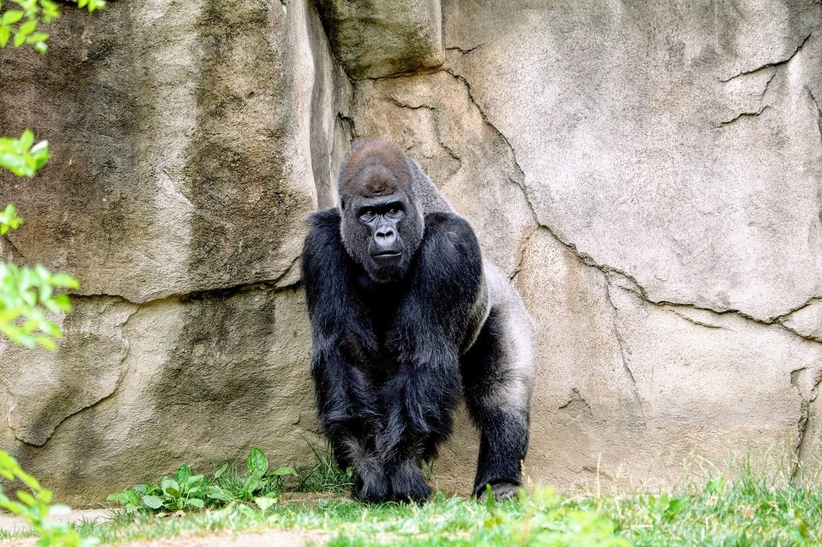 Gorila. Foto: Unsplash