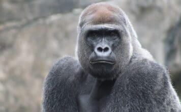Bušení do hrudi umožňuje gorilám signalizovat jejich velikost