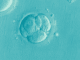 chimérická embrya