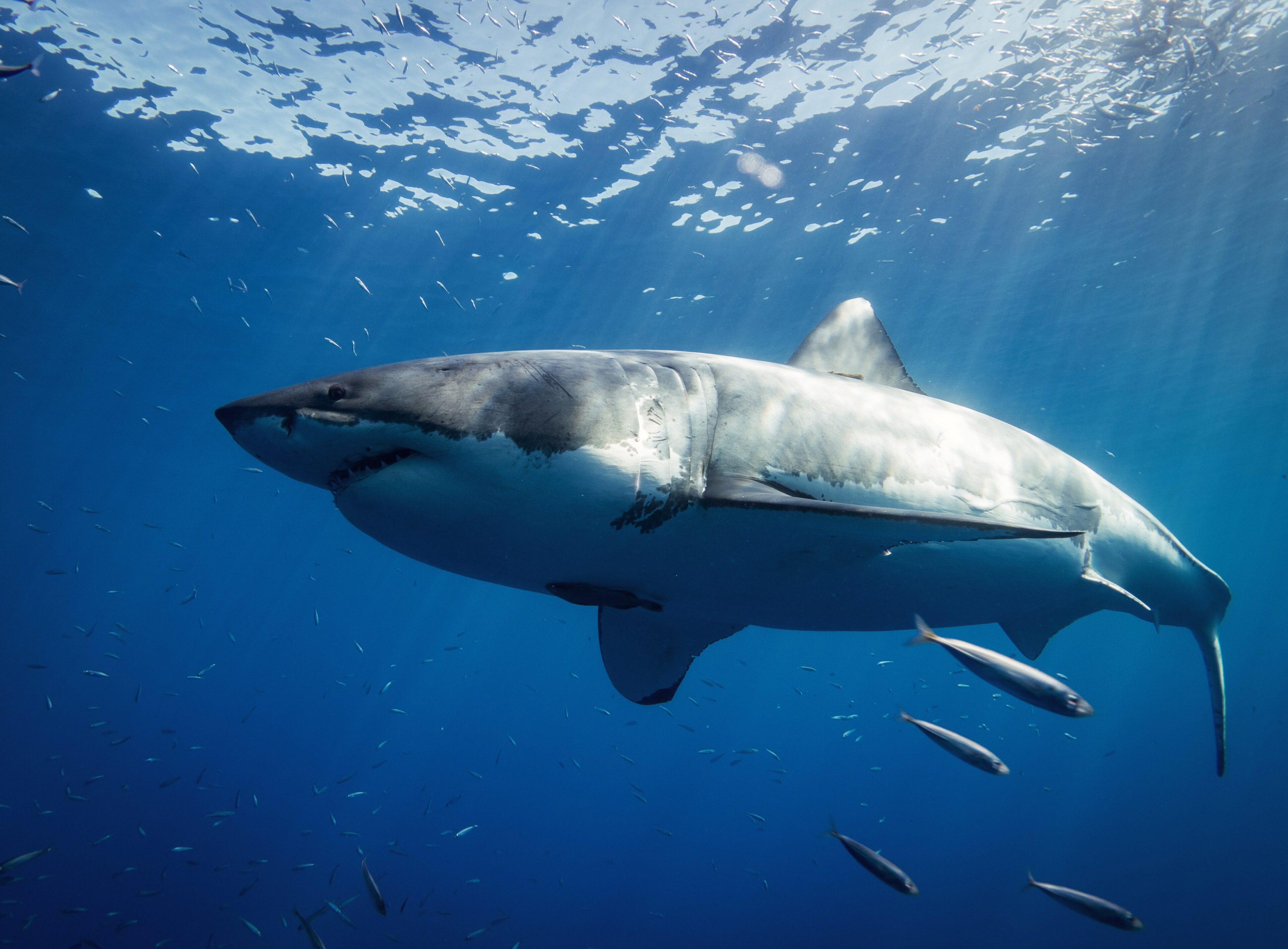 Velký bílý žralok mu ukousl nohu