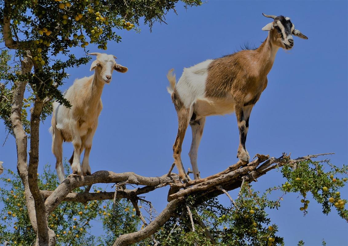 stromové kozy v Maroku