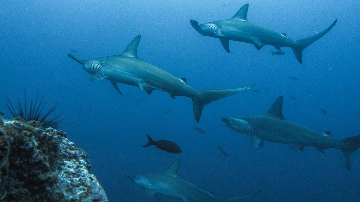 plavání se žraloky
