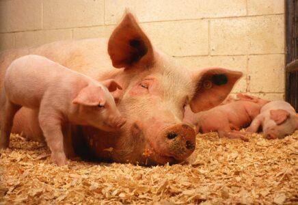 čína staví hotely pro prasata