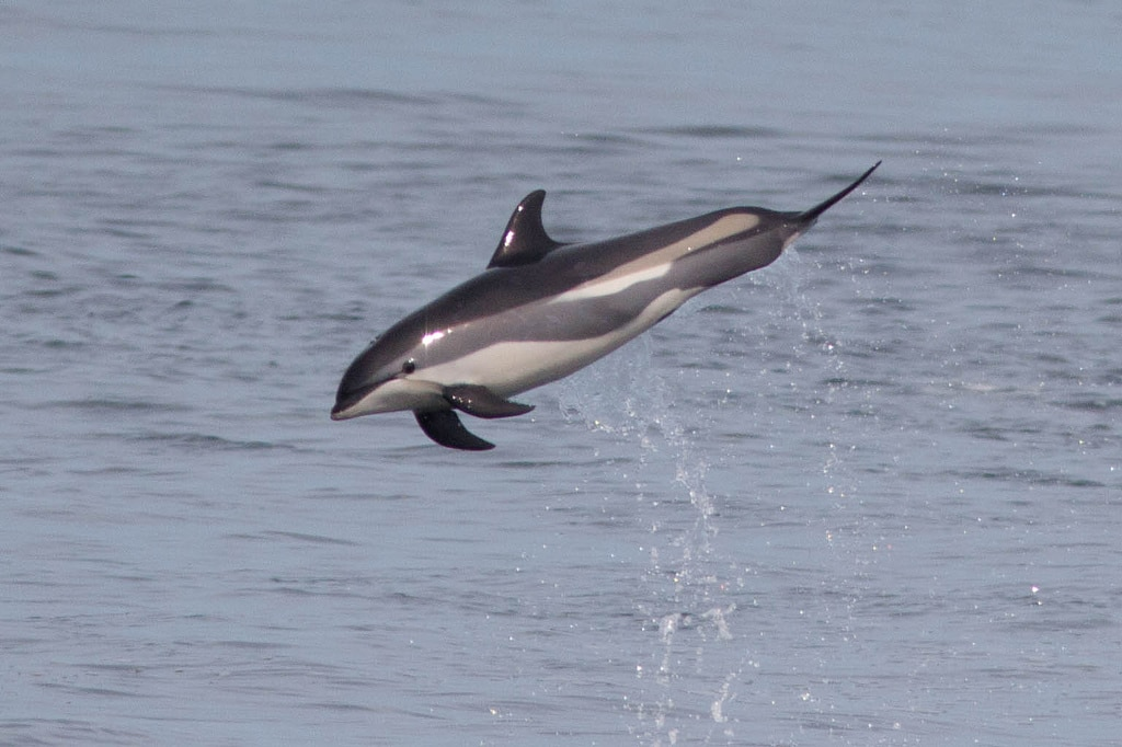 Delfínovití: Plískavice běloboká