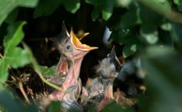 Někteří ptáci se učí rozpoznávat hlasy již ve vejcích