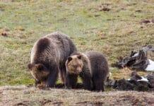 Přes zákaz v národním parku provokovala medvědy